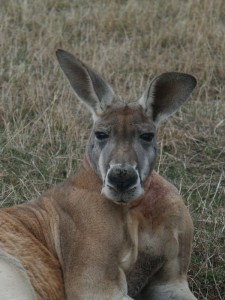 kangaroo_PC6030034[1]